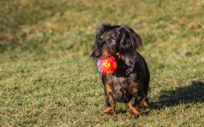 Helseundersøkelse for alle dachshunder