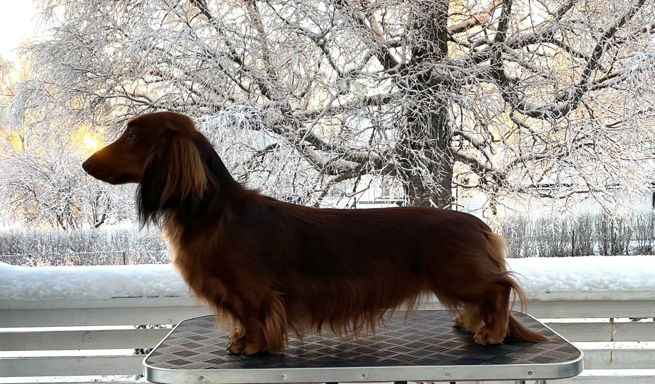 Longuedog's Rigoletto
